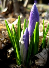 Quick Growth (SneakyBane) Tags: flowers plants brown plant flower macro green up leaves garden out leaf purple grow crocus growth crocuses