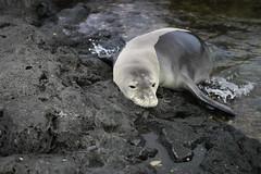 _MG_2935 (Anna Kipervaser) Tags: ocean beauty island hawaii peace oahu tranquility snorkeling pele monkseal