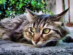 schizzo nord, sud, est, ovest (RoLiXiA) Tags: sardegna cat chat sardinia felino gatto hdr micio sardaigne cerdea schizzo gattoeuropeo felixcatus kodakz812iszoom mygearandme mygearandmepremium mygearandmebronze mygearandmesilver mygearandmegold mygearandmeplatinum mygearandmediamond