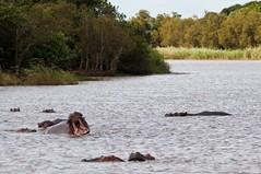 Hippo's (Eefje74) Tags: africa trip travel nature animal southafrica wildlife safari wetlands afrika hippo stlucia zulu kwazulunatal gamepark sudafrica zuidafrika presstrip kwazoeloenatal