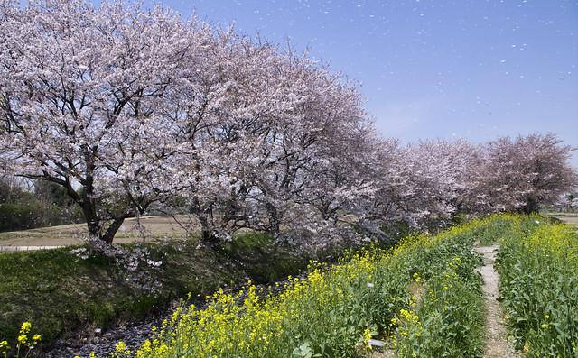 桜吹雪 PRAY FOR JAPAN