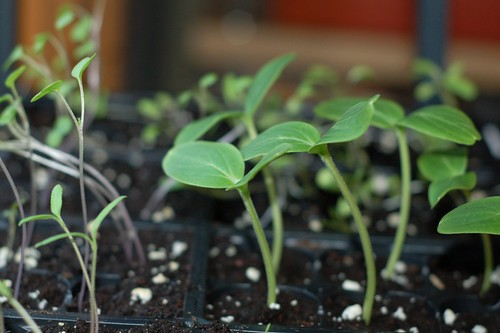 Cucumber Seedlings by Eve Fox, Garden of Eating blog, copyright 2011