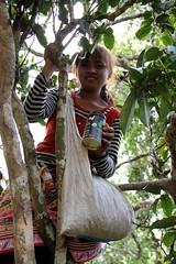 Ms. Na Mo (RISHI TEA) Tags: fairtrade ancienttree teapicking yellowbuds rishitea emeraldlily manmaivillage