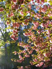 cherryblossoms 002 (Castilleja19) Tags: pink trees sunlight cherry blossoms flowering cherryblossoms