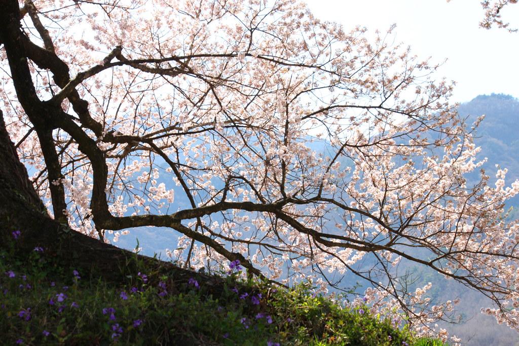 Sakura Photo 2011Wanizuka cherry blossom (8)