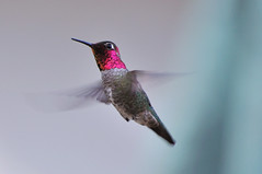 male Anna's Hummingbird ~ Calypte anna (champbass2) Tags: california northerncalifornia inflight wings nikon iridescence annashummingbird magicwings 70300 chicocalifornia buttecounty calypteanna d90 gorget hummmingbird hummingibrds nikond90 maleannashummingbird champass2 maleannashummingbirdinflight
