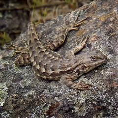 Rock dweller (wolfpix) Tags: reptile lizard rptil  lizards lagarto lagartija reptiles lzard reptil lucertola eidechse bluebelly hagedis westernfencelizard rettile reptiel sceloporusoccidentalis phrynosomatidae    westernfenceswift
