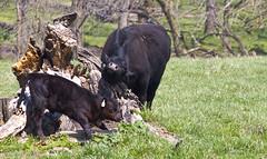 raising bull (davedehetre) Tags: tree field landscape cow spring cattle stump kansas calf