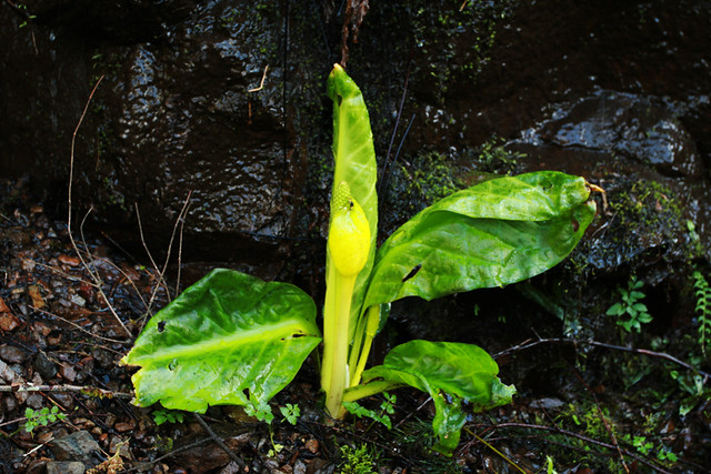 skunk_cabbage