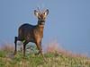 Male roe deer (Capreolus capreolus) (PeterQQ2009) Tags: holland animals mammals capreoluscapreolus