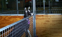 2011 Sydney Royal Easter Show: animals 16 (dominotic) Tags: animal animals rural cow sheep farm sydney llama goat australia bull nsw newsouthwales produce steer agriculture calf ras homebush theshow artsandcrafts eastershow sydneyroyaleastershow lifestock agriculturalshow citymeetscountry
