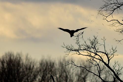 Osprey Hates Tree DSC_0582
