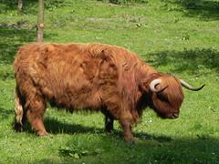 Vache Highland au soleil (Edouard55) Tags: germany kuh cow alemania mucca allemagne schwarzwald blackforest vache vaca ortenau durbach badnerland badenwürtemberggeisberg hignhland