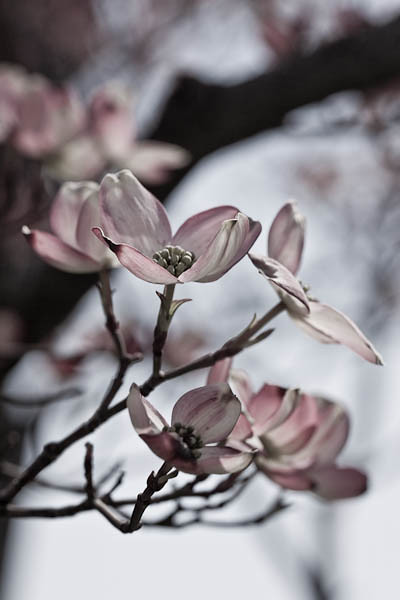 Dogwood Blossoms, Desaturated, Quincy, Illinois