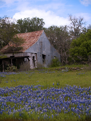 Bluebonnets and Farm House