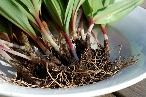 Bowl of wild ramps, fresh from the ground by Eve Fox, Garden of Eating blog