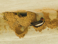 Cliff Swallow with Nest