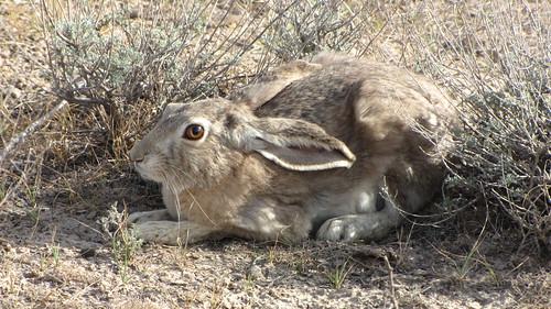 Tolai Hare