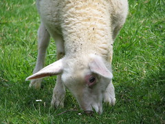 Easter Lamb Pt. IV (Been Around) Tags: green nature animal animals easter austria sterreich europa europe niceshot sheep travellers sunday natur eu april lamb ostern sonntag obersterreich tier autriche austrian schafe aut schaf ostersonntag lmmer lamm o  upperaustria 2011 steyrling 5photosaday osterlamm a rettenbach easterlamb onlyyourbestshots flickraward hauteautriche concordians thisphotorocks visipix bezirkkirchdorf expressyourselfaward flickrunitedaward bauimage pyhrnprielregion urlaubsregionpyhrnpriel