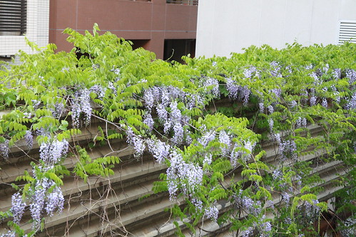 ベランダから見える藤の花