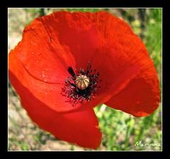 Poppy (marinka78) Tags: flower nature canon turkey garden spring flor poppy april florals blume kemer iek