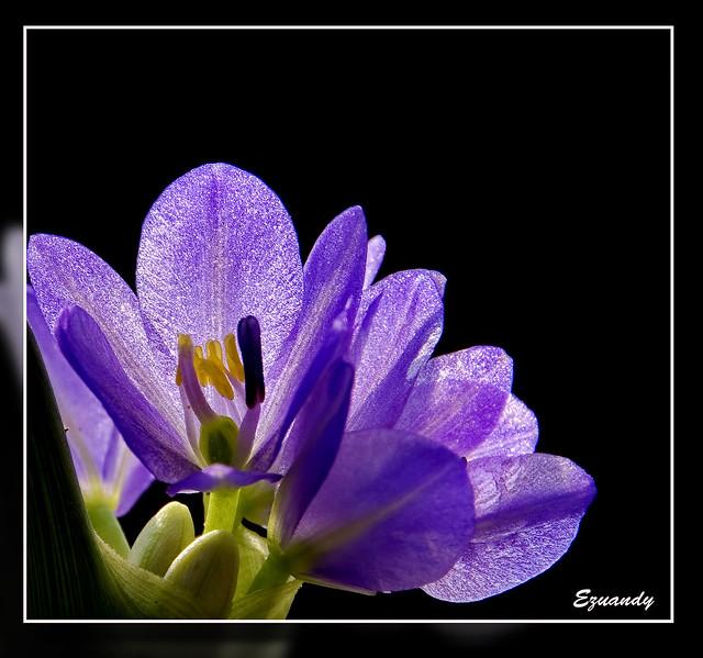 Eichhornia crassipes a.k.a Keladi Bunting