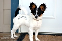 Looking pretty (Pappup2010) Tags: dog pet white black color cute animal butterfly puppy toy small tan canine papillon tricolor pup breed tri pap toybreed butterflydog