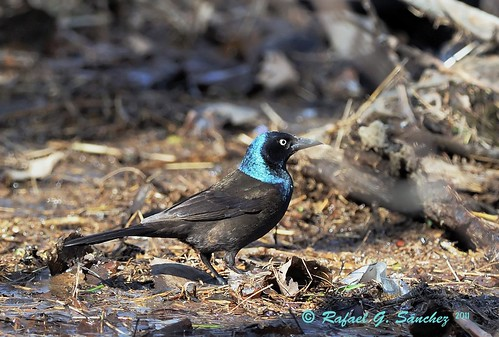 common grackle male. Common Grackle(Male)