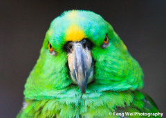 Staring Contest (Feng Wei Photography) Tags: china travel wallpaper portrait color green bird eye nature beautiful beauty animal zoo amazon colorful asia shanghai background wildlife parrot exotic stare 中国 上海 鹦鹉 shanghaizoo 上海动物园 100commentgroup amazonaochrocephalaauropalliata dblringexcellence 黄颈亚马逊鹦鹉
