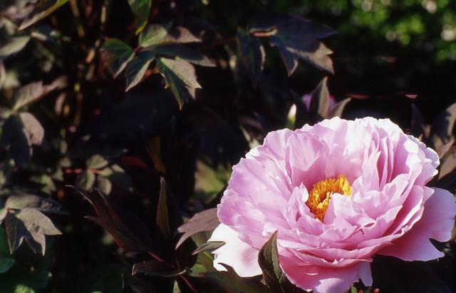 柔和な花びら