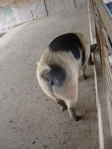 pig tail
