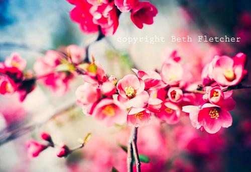 pink-blossoms-wm