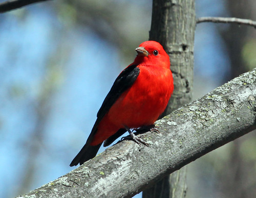 Scarlet Tanager of Orchard Lake Nature Sanctuary by JKissnHug