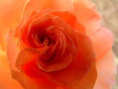 More Roses 2011 29:  Rose Fire to Scare the Snow Away (whitebuffalobk) Tags: rose missouri rosegarden capegirardeau capahapark capaharosegarden