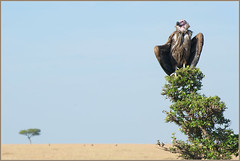 Vulture charging batteries.. (Joost N.) Tags: africa wild sky tree bird up grass wings bush nikon warm kenya african wildlife birding safari mara faced afrika vulture nikkor plains joost kenia masai warming 70300 gier safaris lappet matira opwarmen notten
