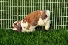 Bella sticks the landing (sensitivebunnyguy) Tags: bunnies lopear houserabbits netherlanddwarf cutebunnyphotos