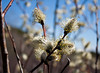 ... (punklefish) Tags: plant ontario nature canon rebel hiking pussy willow sudbury xs northern northernontario rebelxs