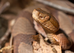 "C-Falls - copperhead eye and head • <a style=""font-size:0.8em;"" href=""http://www.flickr.com/photos/30765416@N06/5702099698/"" target=""_blank"">View on Flickr</a>"