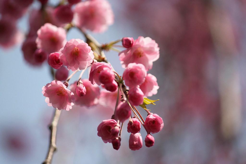 Hirosaki Park Sakura (22)