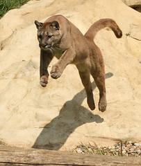Puma (sometimesong) Tags: kent feline bigcat puma cougar ashford mountainlion 2011 smarden wildlifeheritagefoundation whf sometimesong