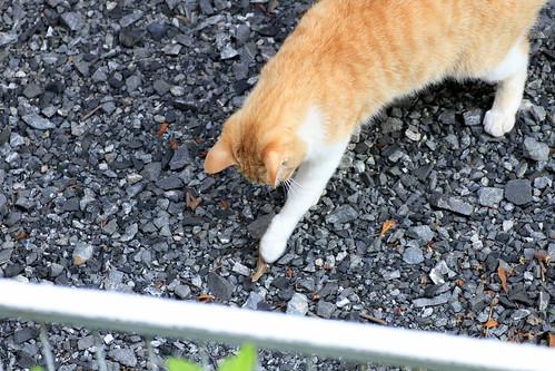 トカゲと遊ぶ猫