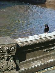 Halifax starling