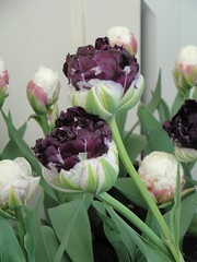 Tulipa Wow profile