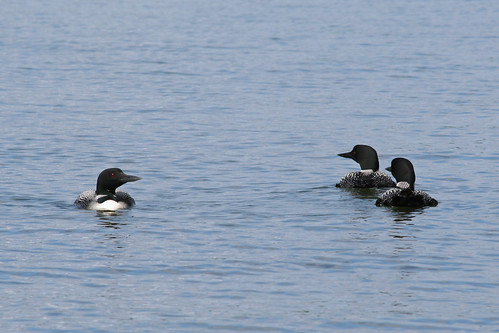 common loon facts. the common loon#39;s legs are