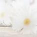 6/13/2011 White Daisies