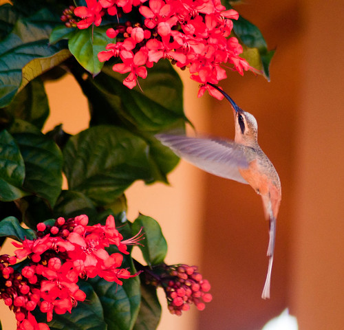 Beija-flor-de-rabo-acanelado by fotolivre