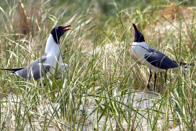 courtship gulls