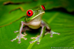 Red-eyed Tree Frog (Burrard-Lucas Wildlife Photography) Tags: red macro green costarica wildlife frog treefrog redeyed leaffrog