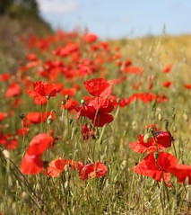 Poppies (Clare Chick) Tags: red scarlet poppy poppies wildflowers remembrance