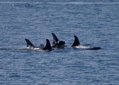 (Hysazu) Tags: washington nikon whale pugetsound orca sanjuanislands killerwhale lopezisland cetacean salishsea d90 islandadventures nikond90 southernresidentkillerwhale srkw islandexplorer3 20150730